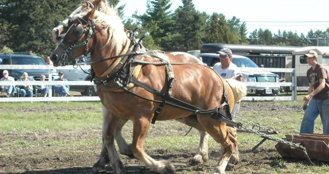 Horses at Central Algoma Fall Fair