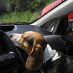 Why Pets and Vehicles Don't Mix – Hot Cars Can Kill